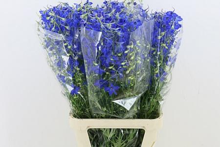 Delphinium Volkenfrieden Blau