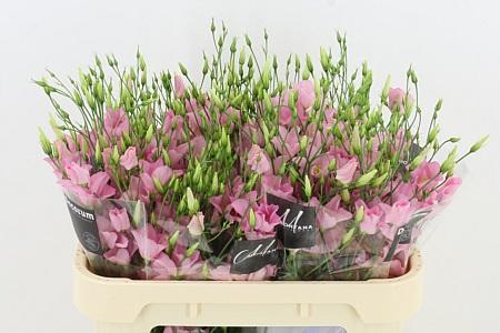 Eustoma E Botanic Pink